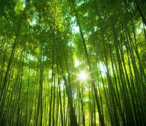Bamboo-forrest