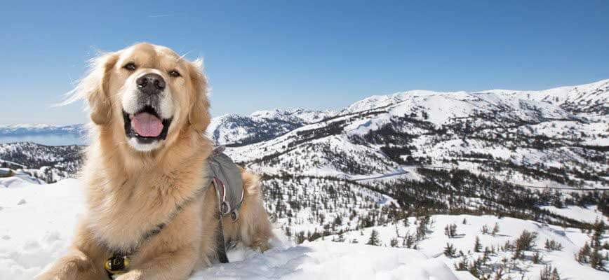 search-and-rescue-avalanche-dog'